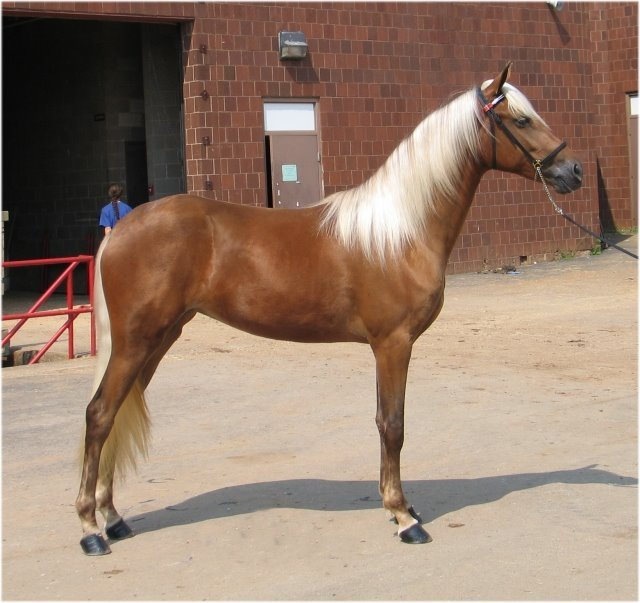 home breeding stallions gait information horses for sale shoeing